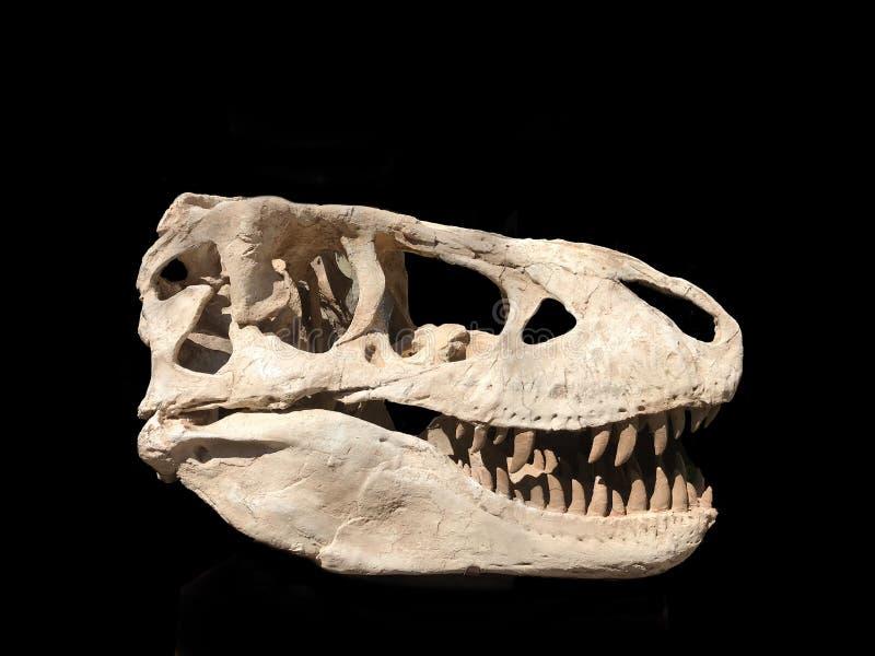 Μαύρο υπόβαθρο Rex τυραννοσαύρων κρανίων δεινοσαύρων στοκ φωτογραφία