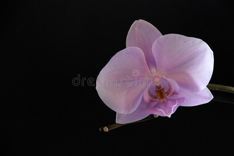 μαύρο orchid στοκ φωτογραφίες