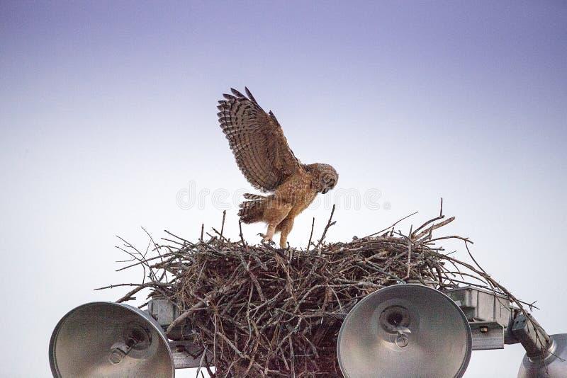 Μεγάλες κερασφόρες πρακτικές virginianus Bubo owlet μωρών που πετούν με το κράτημα επάνω σε κάτι στη φωλιά του στοκ εικόνες με δικαίωμα ελεύθερης χρήσης