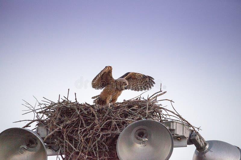 Μεγάλες κερασφόρες πρακτικές virginianus Bubo owlet μωρών που πετούν με το κράτημα επάνω σε κάτι στη φωλιά του στοκ εικόνα