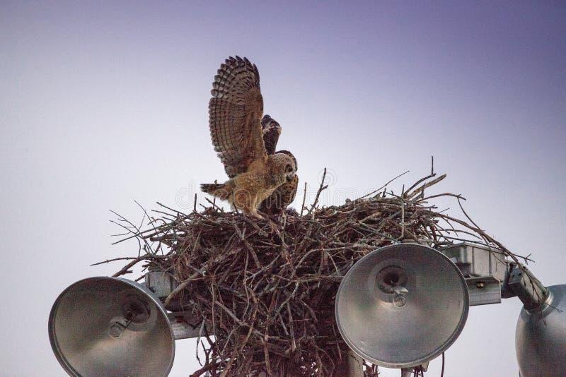 Μεγάλες κερασφόρες πρακτικές virginianus Bubo owlet μωρών που πετούν με το κράτημα επάνω σε κάτι στη φωλιά του στοκ φωτογραφίες με δικαίωμα ελεύθερης χρήσης
