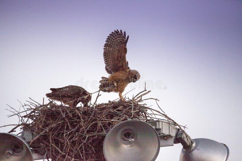 Μεγάλες κερασφόρες πρακτικές virginianus Bubo owlet μωρών που πετούν με το κράτημα επάνω σε κάτι στη φωλιά του στοκ εικόνες
