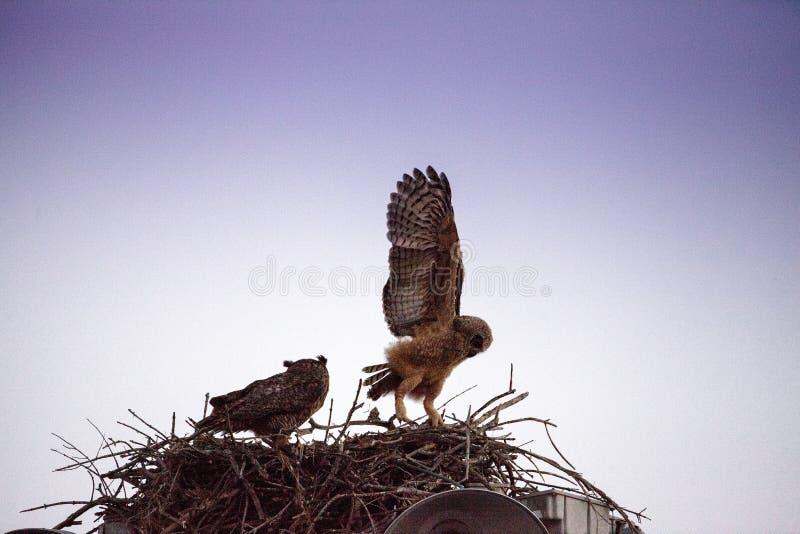Μεγάλες κερασφόρες πρακτικές virginianus Bubo owlet μωρών που πετούν με το κράτημα επάνω σε κάτι στη φωλιά του στοκ φωτογραφία με δικαίωμα ελεύθερης χρήσης