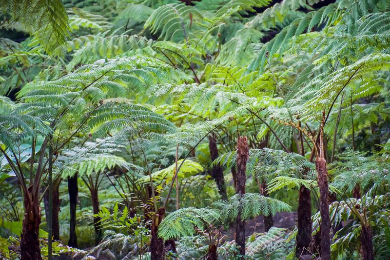 Μεγάλη φτέρη δέντρων στο τροπικό δάσος στον καταρράκτη Siriphum στο εθνικό πάρκο Doi Inthanon, Chiang Mai, Ταϊλάνδη στοκ εικόνες