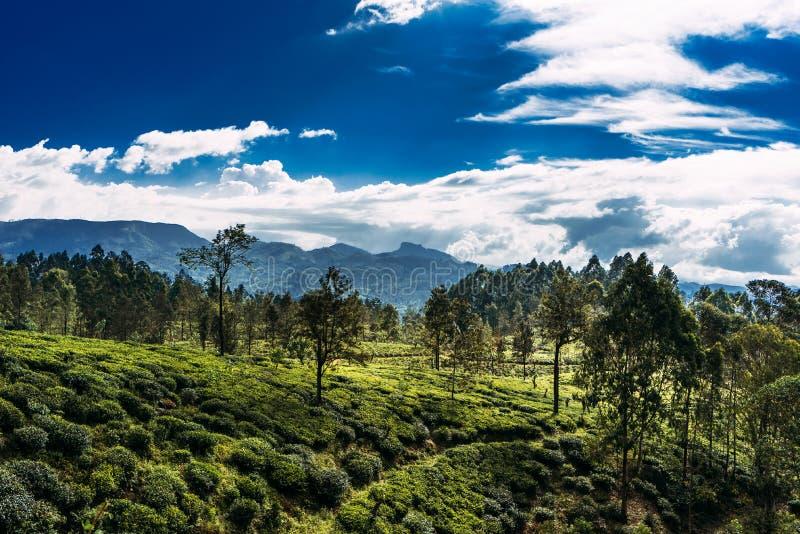 Μεγάλη φυτεία τσαγιού Πράσινο τσάι στα βουνά Φύση της Σρι Λάνκα Τσάι στη Σρι Λάνκα Η καλλιέργεια του τσαγιού Πράσινη φυτεία στοκ φωτογραφία με δικαίωμα ελεύθερης χρήσης