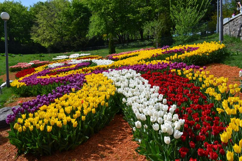 Μεγάλη φυτεία των κόκκινων τουλιπών την ηλιόλουστη ημέρα την άνοιξη Κατασκευή της ανάπτυξης των λουλουδιών Κρεβάτι λουλουδιών υπό στοκ εικόνες