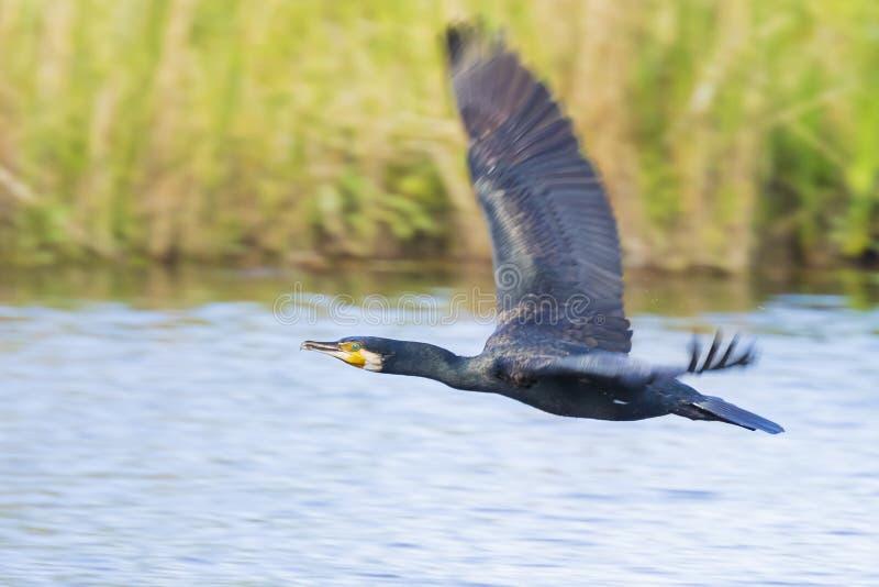 Μεγάλος μαύρος κορμοράνος, carbo Phalacrocorax, κατά την πτήση στοκ εικόνες