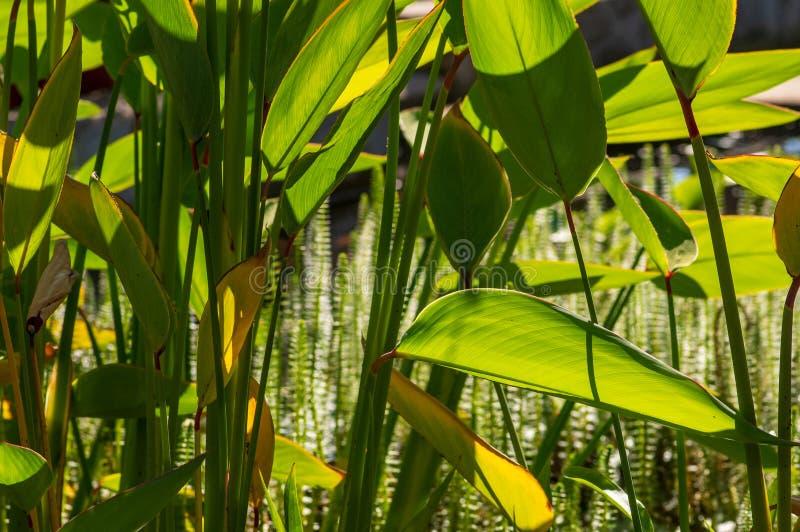 Μεγάλος-με φύλλα πράσινες εγκαταστάσεις λιμνών στο πρώτο πλάνο, κοινή φοράδα-ουρά, Hippuris vulgaris, στο υπόβαθρο στοκ εικόνα με δικαίωμα ελεύθερης χρήσης