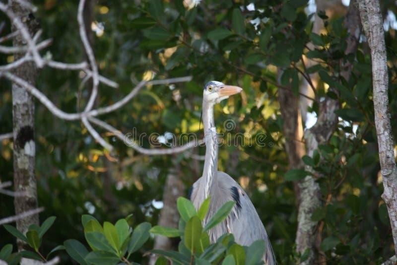 Μεγάλος μπλε ερωδιός στη Φλώριδα Everglades στοκ φωτογραφία με δικαίωμα ελεύθερης χρήσης