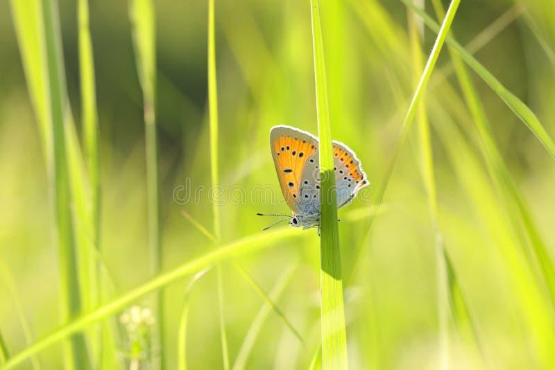 Μεγάλος χαλκός πεταλούδων - Lycaena dispar σε ένα ηλιόλουστο πρωί άνοιξη στοκ εικόνες με δικαίωμα ελεύθερης χρήσης