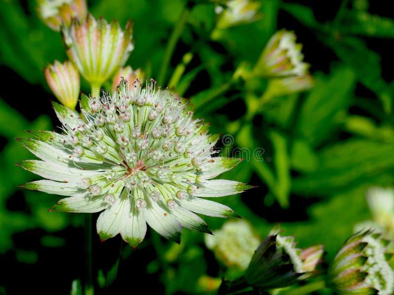 Μεγάλο λουλούδι Masterwort σε έναν τομέα στοκ φωτογραφία με δικαίωμα ελεύθερης χρήσης