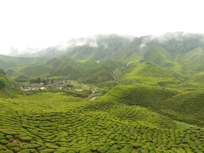Μεγαλύτερος κήπος τσαγιού - ορεινή περιοχή του Cameron στοκ εικόνες με δικαίωμα ελεύθερης χρήσης