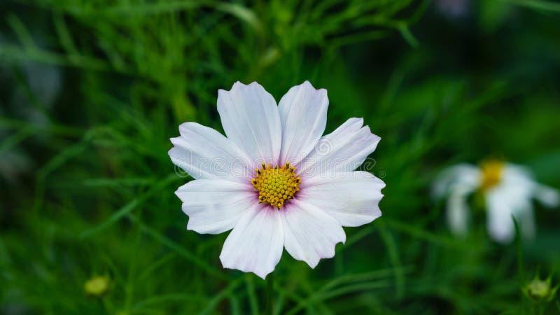 Μεξικάνικος κόσμος αστέρων ή κήπων, bipinnatus κόσμου, άσπρη κινηματογράφηση σε πρώτο πλάνο λουλουδιών, εκλεκτική εστίαση, ρηχό D στοκ εικόνες