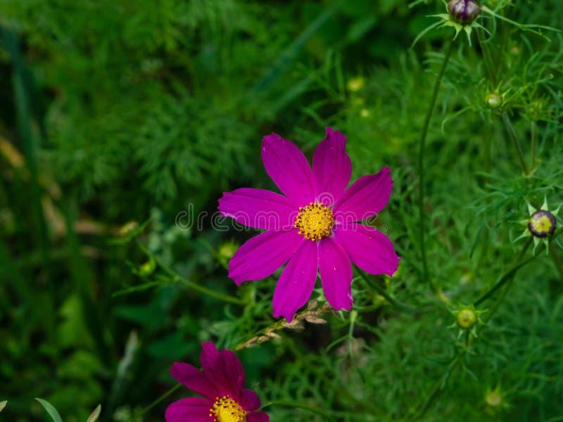 Μεξικάνικος κόσμος αστέρων ή κήπων, bipinnatus κόσμου, πορφυρή κινηματογράφηση σε πρώτο πλάνο λουλουδιών, εκλεκτική εστίαση, ρηχό στοκ φωτογραφία