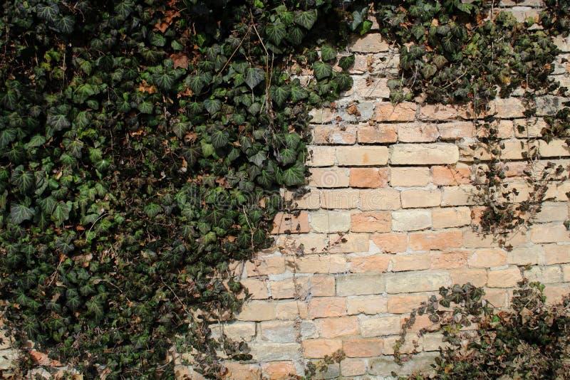 Μερικοί κισσοί σε έναν τοίχο στοκ φωτογραφία με δικαίωμα ελεύθερης χρήσης