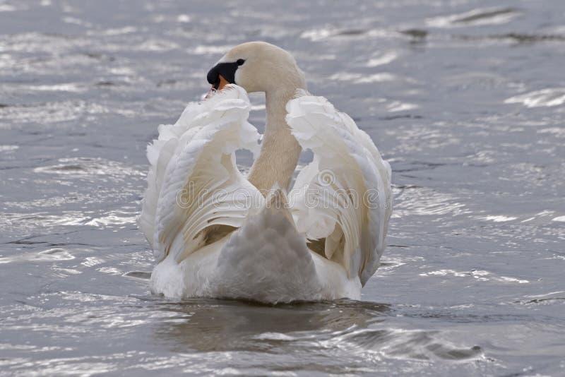 Μια βουβή κολύμβηση κύκνων στοκ φωτογραφία με δικαίωμα ελεύθερης χρήσης
