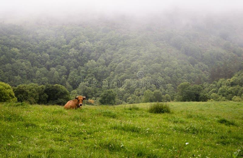 Μια ενιαία αγελάδα βόειου κρέατος στην πράσινη χλόη στο αγρόκτημα στοκ φωτογραφία με δικαίωμα ελεύθερης χρήσης