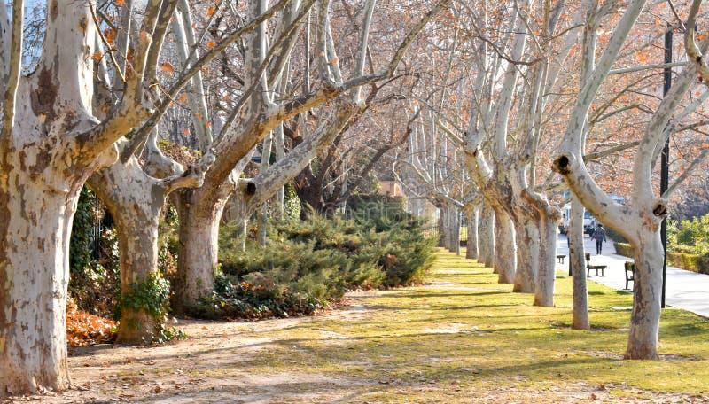 Μια ζάλη, μακριά πορεία ευθυγράμμισε με τα αρχαία ζωντανά δέντρα σφενδάμνου χωρίς φύλλα ντυμένα στο ισπανικό βρύο στο θερμό, ξημε στοκ εικόνες με δικαίωμα ελεύθερης χρήσης