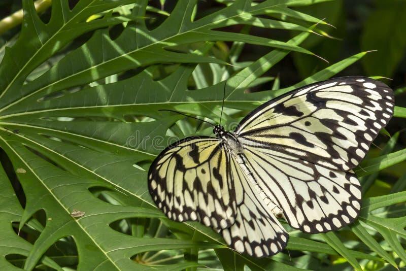 Μια ιδέα leuconoe Papiervlinder σχετικά με εγκαταστάσεις σαλάτας φρούτων στον κήπο πεταλούδων των ακαλλιέργητων περιοχών ζωολογικ στοκ φωτογραφίες