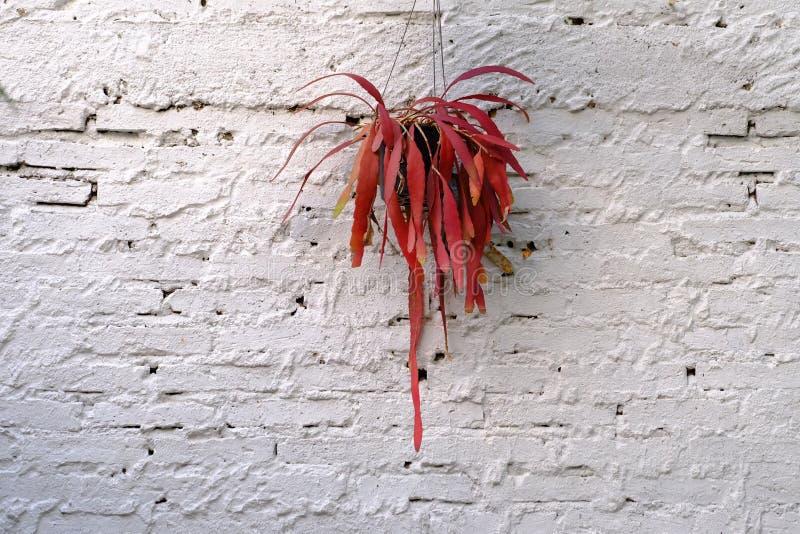 Μια κόκκινη ανάπτυξη εγκαταστάσεων φτερών στο δοχείο λουλουδιών και ένωση σε έναν άσπρο τουβλότοιχο στοκ φωτογραφία