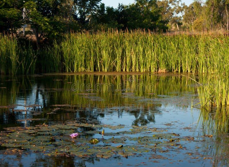 Μια λίμνη με τους κρίνους νερού και κάλαμος γύρω το βράδυ σε ένα πάρκο στο Queensland, Αυστραλία στοκ εικόνα