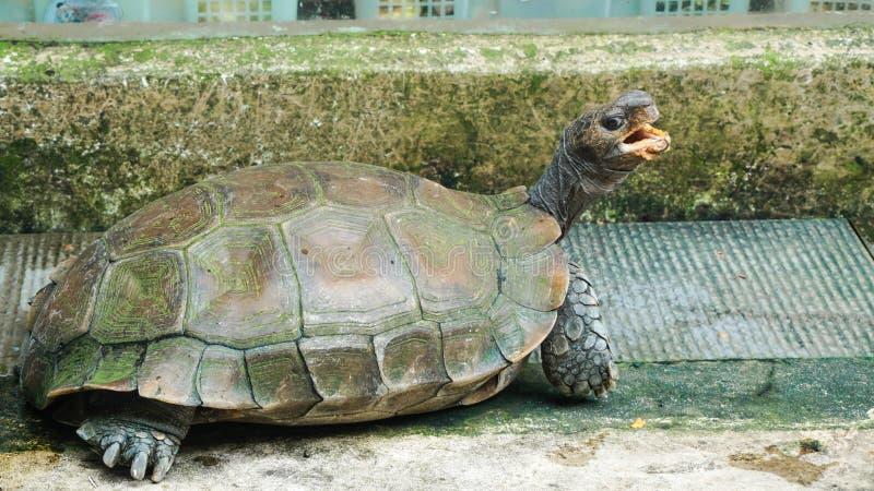 Μια μεγάλη χελώνα με το στόμα που ανοίγουν στοκ εικόνες με δικαίωμα ελεύθερης χρήσης
