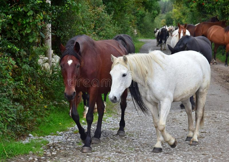 Μια ομάδα αλόγων που πηγαίνουν στο σταύλο τους Ιρλανδία στοκ φωτογραφίες με δικαίωμα ελεύθερης χρήσης