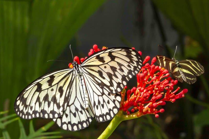 Μια πεταλούδα Papiervlinder ιδέας leuconoe στον κήπο πεταλούδων των ακαλλιέργητων περιοχών ζωολογικών κήπων σε Emmen, Κάτω Χώρες στοκ φωτογραφία