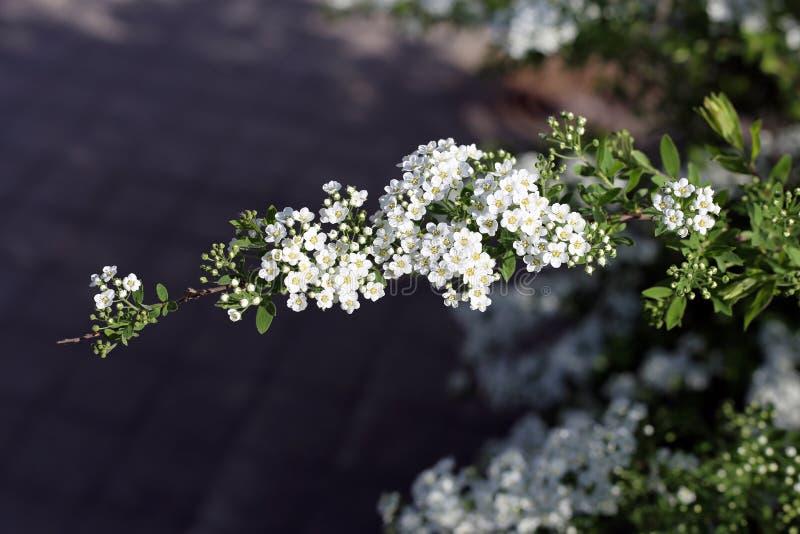 Μικρά άσπρα λουλούδια που αυξάνονται από έναν κλάδο δέντρων στοκ εικόνα