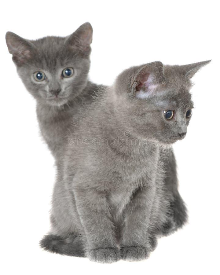 Μικρή γκρίζα συνεδρίαση γατακιών shorthair δύο που απομονώνεται στοκ φωτογραφία