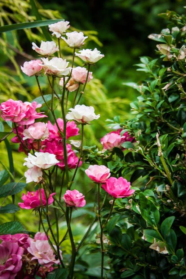 Μικροσκοπικά ροζ άσπρα τριαντάφυλλα στοκ φωτογραφίες με δικαίωμα ελεύθερης χρήσης