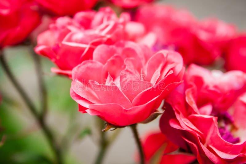 Μικροσκοπικά ροζ άσπρα τριαντάφυλλα στοκ φωτογραφίες