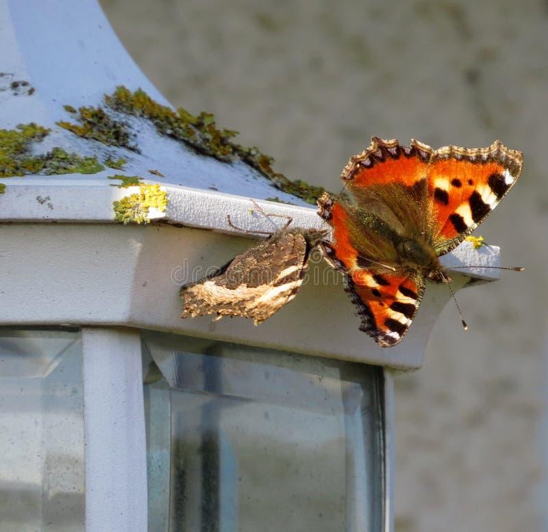 Μικρό urtica aglais πεταλούδων ταρταρουγών στο φως ασφάλειας στοκ εικόνα