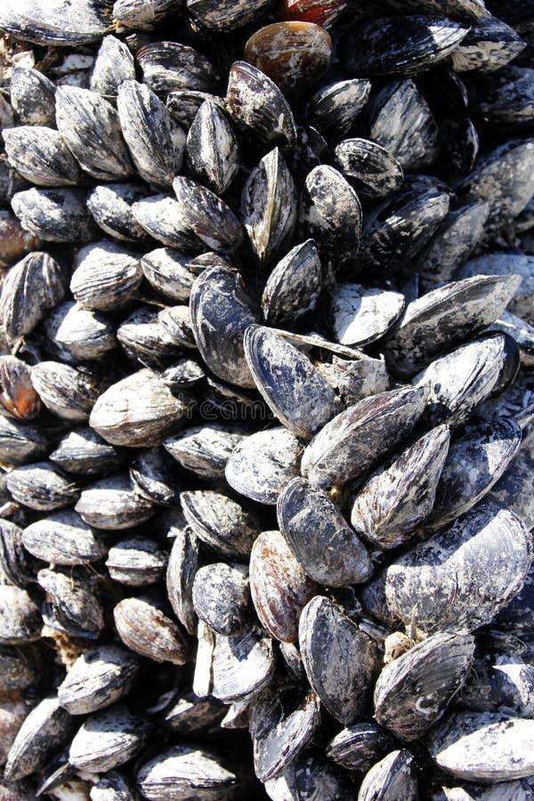 Μύδια που προσκολλώνται στην αποβάθρα μαρινών Νησιών Βανκούβερ στοκ εικόνες