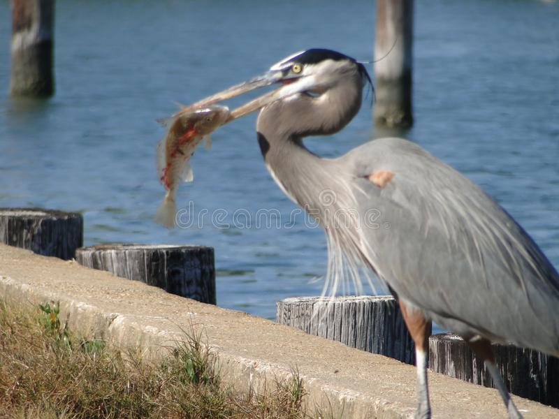 Μπλε ερωδιός που τρώει τις γαρίδες για το γεύμα στοκ εικόνα