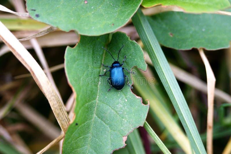 Μπλε κάνθαρος σε ένα φύλλο στοκ φωτογραφία