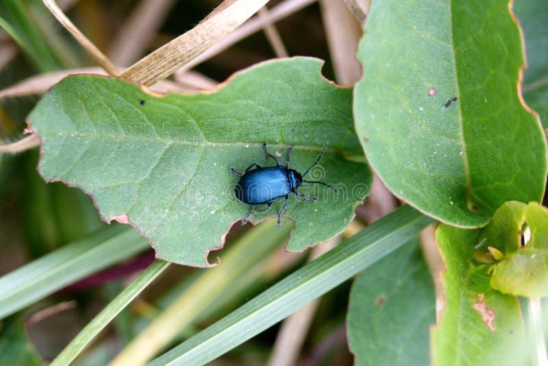 Μπλε κάνθαρος σε ένα φύλλο στοκ εικόνες