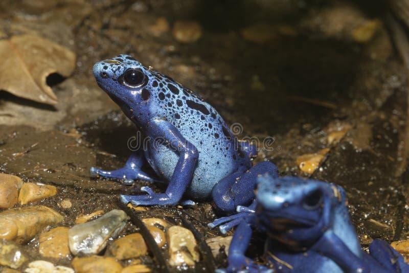 μπλε δηλητήριο βατράχων στοκ εικόνες