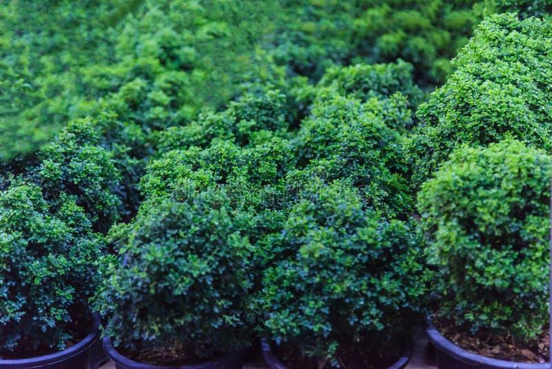 Νέοι πράσινοι νάνοι δέντρα και θάμνοι μπονσάι στα δοχεία για το διακοσμητικό κήπο Κηπουρική, Houseplant, εξωτερική διακόσμηση, πο στοκ εικόνα με δικαίωμα ελεύθερης χρήσης