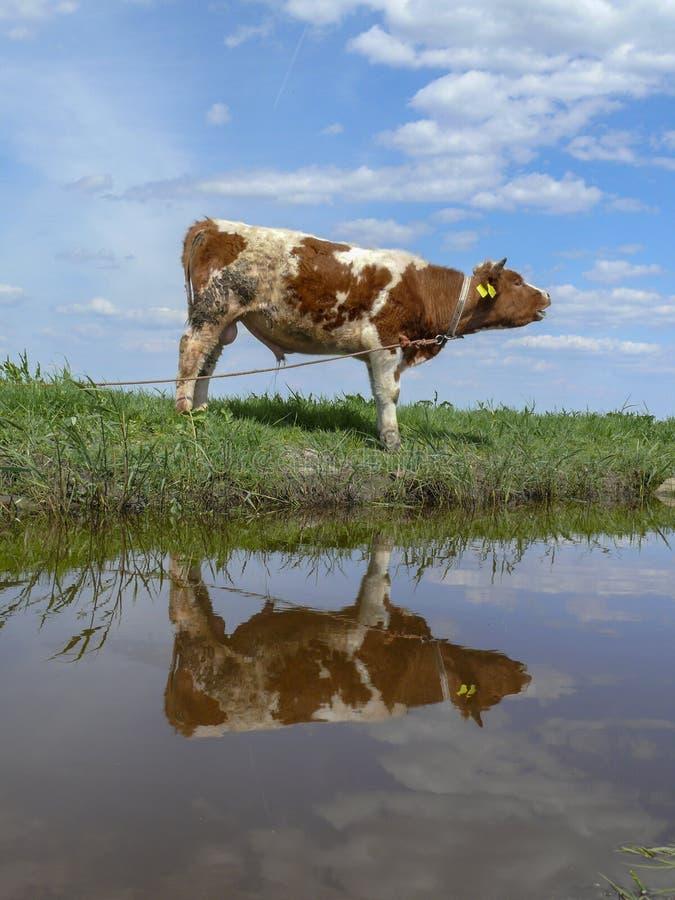 Νέο κόκκινο παρδαλό ταύρων, που απεικονίζεται στο νερό, σε ένα λουρί, τα πρόβατα καλύπτει ανωτέρω και αντανάκλαση σύννεφων κατωτέ στοκ φωτογραφίες με δικαίωμα ελεύθερης χρήσης