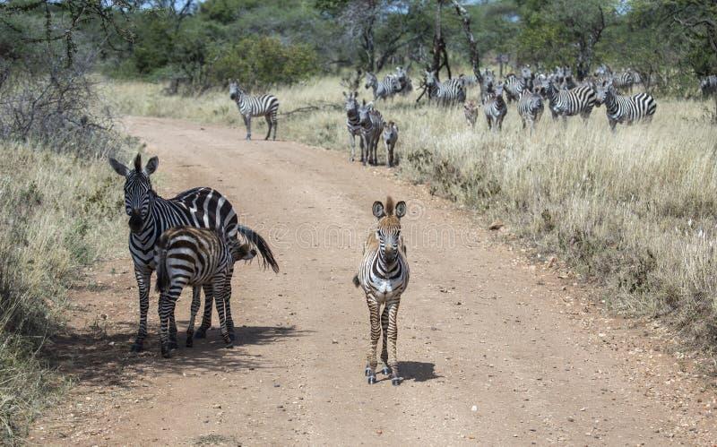 Νέο με ραβδώσεις με τη μητέρα πίσω από και το κοπάδι των zebras στην απόσταση στοκ εικόνα