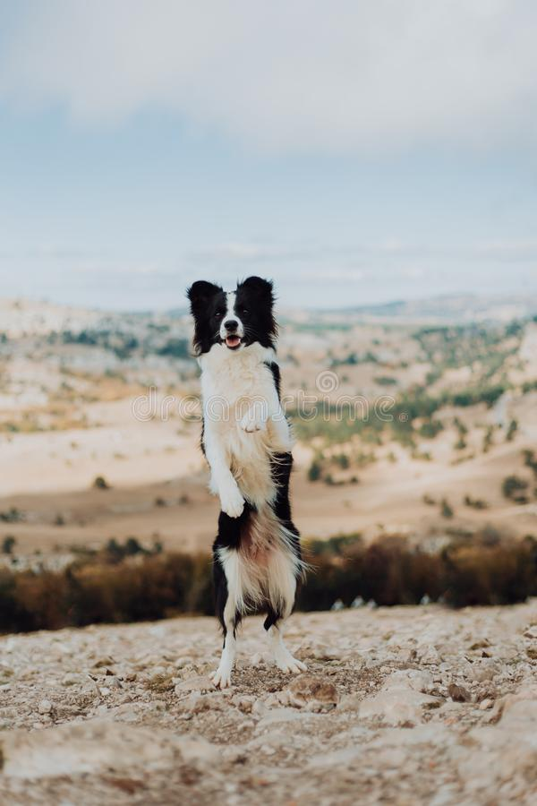 Νέο σκυλί κόλλεϊ συνόρων με μια γραπτή παραμονή περιλαίμιων στα πίσω πόδια που κοιτάζουν έξω στα βουνά με τον ηλιόλουστο ουρανό στοκ εικόνες