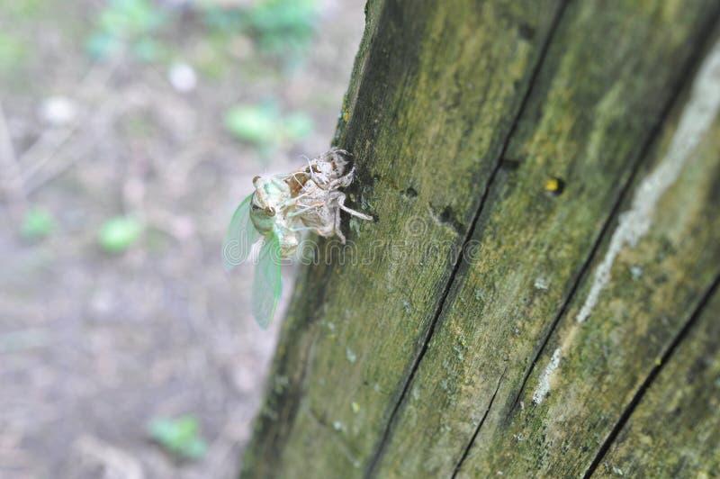 Νέο Cicada φρέσκο από τις χρυσαλίδες στοκ εικόνα με δικαίωμα ελεύθερης χρήσης