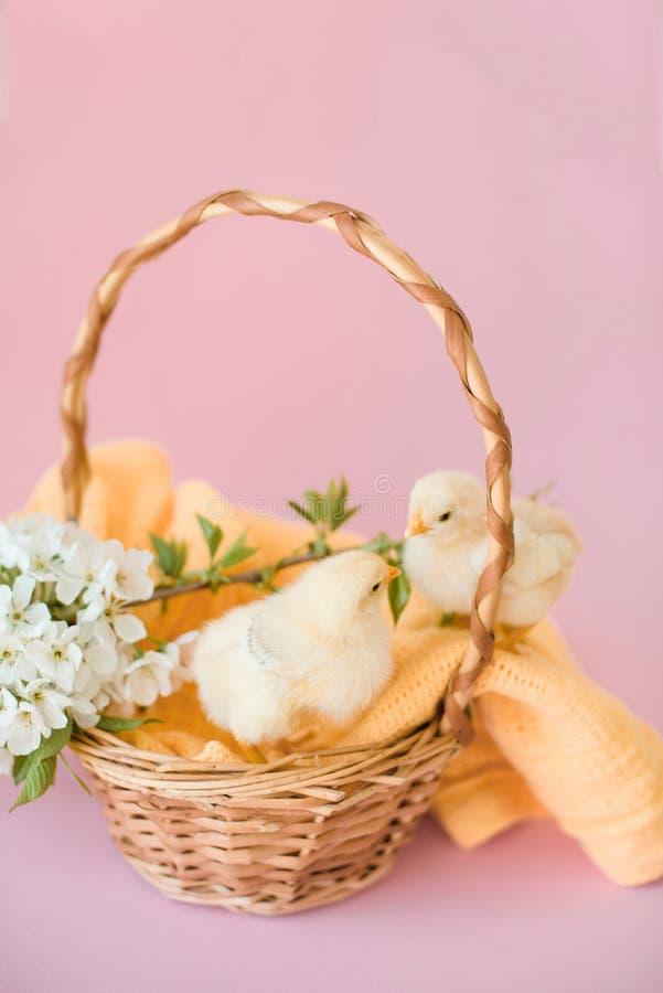 Νεογέννητα κίτρινα κοτόπουλα σε ένα ψάθινο καλάθι στοκ φωτογραφίες με δικαίωμα ελεύθερης χρήσης