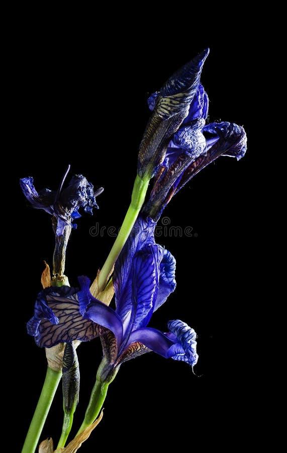 Ξηρά μακροεντολή λουλουδιών της Iris στοκ φωτογραφία με δικαίωμα ελεύθερης χρήσης