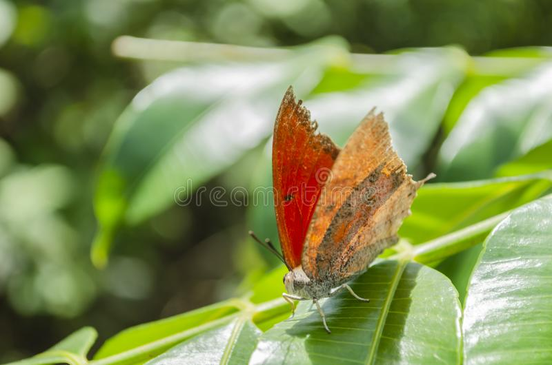 Ξηρά πεταλούδα φύλλων στα πράσινα φύλλα στοκ εικόνες