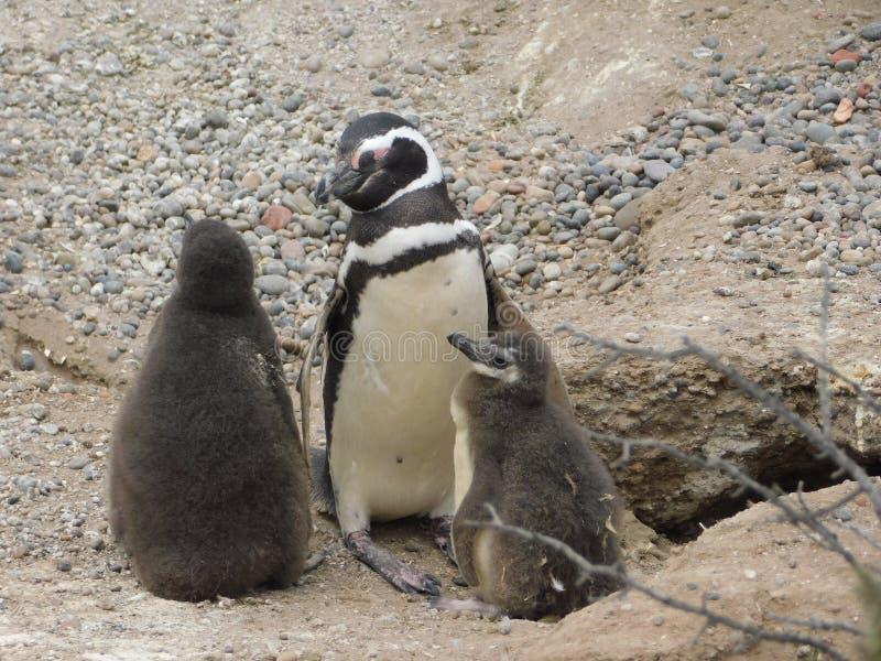 Οικογένεια Penguins σε Punta Tombo Αργεντινή στοκ εικόνα