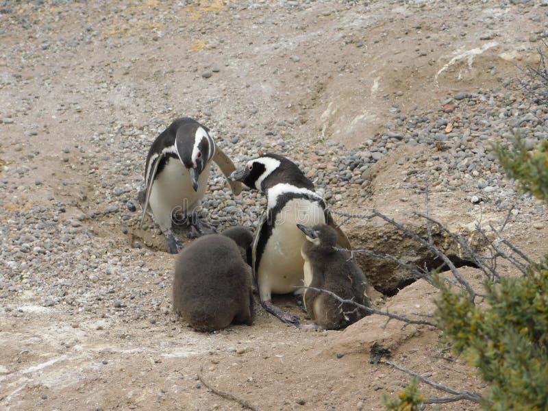 Οικογένεια Penguins σε Punta Tombo Αργεντινή στοκ φωτογραφίες με δικαίωμα ελεύθερης χρήσης