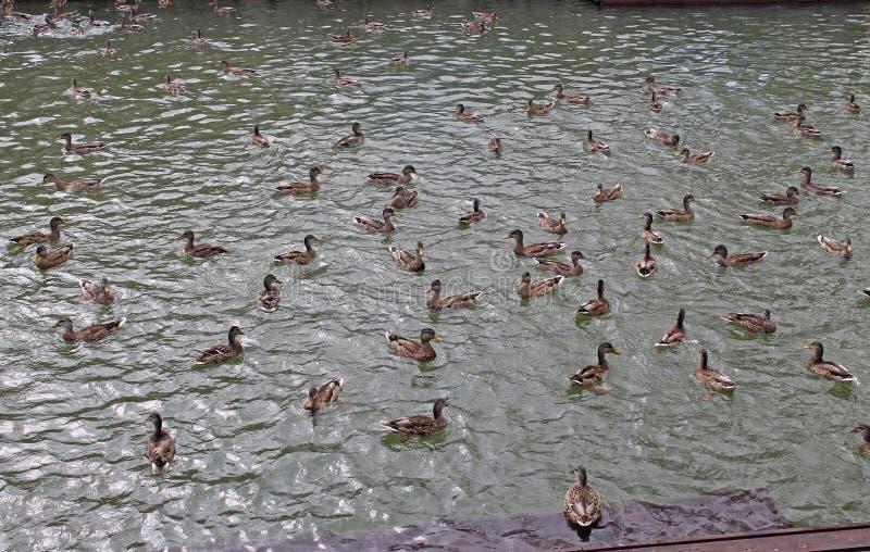 Οι άγριες μεταναστευτικές πάπιες κολυμπούν στη λίμνη στοκ εικόνες
