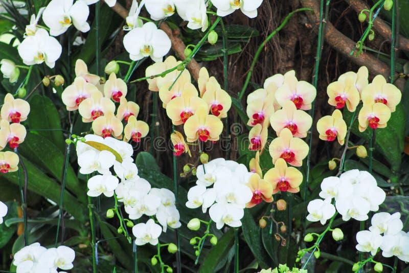 Οι ζωηρόχρωμες ορχιδέες phalaenopsis λουλουδιών κίτρινες και άσπρες ομαδοποιούν την άνθιση στον κήπο στο υπόβαθρο, σχέδια φύσης δ στοκ φωτογραφία με δικαίωμα ελεύθερης χρήσης